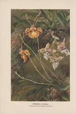 Orchidee Orchidoideae Stanhopea Oncidium litografia di 1898 botanica