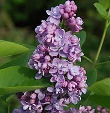 Edelflieder Miss Canada Kircher-Collection 30-40cm Syringa hyacinthiflora