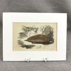 1853 Hedgehog New Holland Hedgehogs Antique Original Print