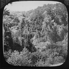 Magic Lantern Slide Vintage C1890 The Bush Native Forest New Zealand History