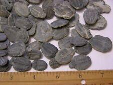 Trilobite Elrathia fossils 2 fossils per winner Utah mid Cambrian 1/4-1 1/2 inch