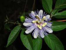 passion flower, PURPLE passion flower, MAYPOP, apricot VINE, 11 SEEDS! GroCo