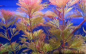 5 x RED CABOMBA Live tropical aquarium plant pink fern for fish tank cabomba ...