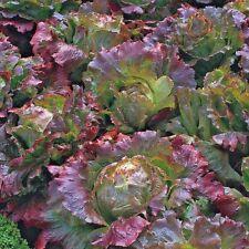 Vegetable Lettuce Marvel of Four seasons Appx 2000 seeds