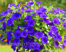 F1 TRAILING PETUNIA SUPERCASCADE BALCONY BLUE - 10 SEEDS - Petunia grandiflora
