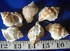 ~ Bursa Rana Shells~12~ Shellcraft ~Mirrors Frames Wreaths~ Sailor's Valentines~