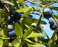 Plum Pine  - Podocarpus elatus Plant