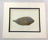 1904 Antico Pesce Stampa Comune Suola British Sale Acqua Pesca Cromolitografia