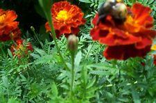 100+ Marigold Flower seeds Harvested 2017 grow season Heirloom