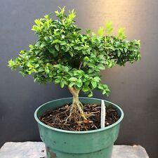 Bonsai Kingsville Boxwood Pre Bonsai Tree 7 Years Old Great Mame/shohin Material