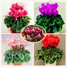 100 PCS Seeds Cyclamen Perennial Flowers Bonsai Plants Free Shipping 2019 Rare N