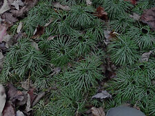 Creeping Tree Club Moss 20 Live Plants Great for Terrariums,Aquariums, Ponds