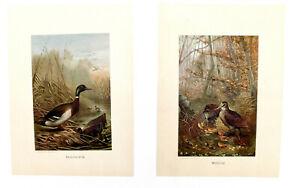 Vintage prints  2 two Mallard Duck & Woodcock artist Selmar Hess 8 by 11 inch