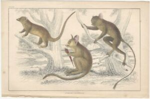 Marsupials - 19th Century English Small Mammal Print partly Hand Colored