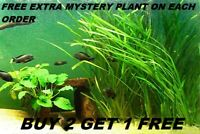 6 Vallisneria Jungle Val  plants Fresh Live Aquarium Plants BUY2GET1FREE