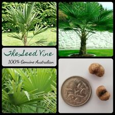 5 WINDMILL PALM TREE SEEDS (Trachycarpus fortunei) Frost Tolerant Palm Chinese
