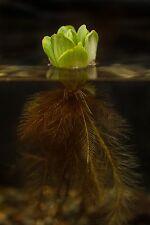 "Water Lettuce 2""-3""  ~{Large Natural Aquatic Bio Filter}~ 5 Plants"
