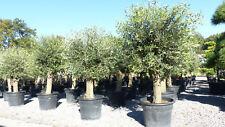 Olivenbaum 160 - 190 cm, 50 Jahre alt, leicht knorrig, Premium winterharte Olive