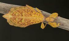 PHYLLIUM TOBELOENSE ♂♀ - 12 Huevos Eggs - Stick insect - Insecto hoja, Fásmidos