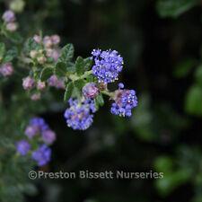 Ceanothus Yankee Point Californian Lilac Evergreen Shrub