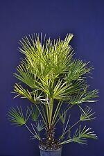 CHAMAEROPS HUMILIS v22 Palma nana di San Pietro Dwarf Fan palma palm plant
