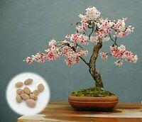 10 Japanese Flowering Cherry Blossom Bonsai Seeds, Fresh Exotic Rare Bonsai Seed