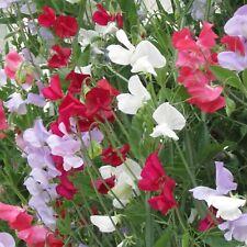 Everlasting Sweet Pea - lathyrus latifolius -  50 seeds - Perennial