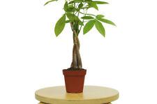 One Bonsai Money Tree Live Plant Garden Best Gift Indoor Outdoor