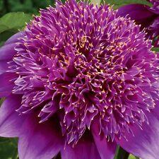 Dahlia Powder-Puff Purple Haze (1 Bulb)