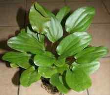 2 Echinodorus Mutterpflanzen ca. 30-40 cm, Diskusbecken