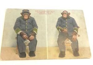 Early 1900s Chimpanzee Baldy in Uniform, New York Zoological Park