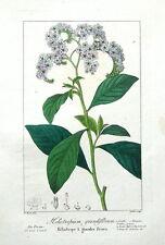 HELIOTROPIUM GRANDIFLORUM, Pancrace Bessa Antique Botanical Print c1820