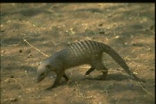 271048 Banded Mongoose A4 Photo Print