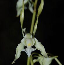 Dendrobium ARCHIPELAGENSE seedling orchid plant in 80mm pot