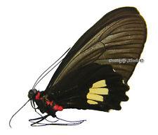 Unmounted Butterfly/Papilionidae - Parides pizarro pizarro, FEMALE, Peru