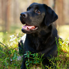 Birthday Celebration Card - Black Labrador Dog Puppy *Fast Freepost*