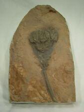 BUTW Fossil Silurian Scyphocrinites Crinoid specimen with stand 9606D dl