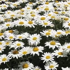 1/4 Lb Alaska Shasta Daisy Wildflower Seeds - Everwilde Farms Mylar Seed Packet