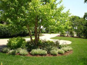 River Birch multi-stem clump tree (betulanigra) in quart pot