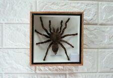 HUGE Giant Big Bird Eating Tarantula Spider Taxidermy