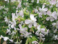Seifenkraut Saponaria officinalis Heilpflanze Samen VERSANDKOSTENFREI !!!