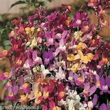 Linaria maroccana 'Northern Lights' Flower Mixture - Toadflax 15,000 seeds 1g