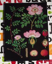 Herbarium School Poster Jung-Koch-Quentell Rosier .Rose Rosehip Briard