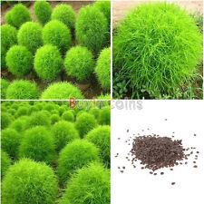 200PCS Graines Kochia Scoparia Herbe Plante été Cypress Semences Rapide Cultiver