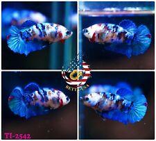 New listing [Ti-2542] Live Betta Fish High Quality Hmpk Female Blue White Galaxy Koi