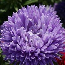 Aster -Gremlin Double - Lavender- 50 Seeds- Bogo 50% off Sale