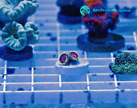 Live Eagle Eye Zoanthid LPS Coral Frag (Saltwater)