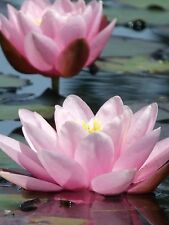 Bareroot Water Lily/Nymphaea, Pink. Healthy pond water plant.