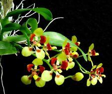 Orchid Species Oncidium coloratum Bloom Size Miniature
