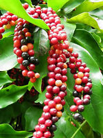 HERBERT RIVER CHERRY SEEDS ANTIDESMA BUNIUS 5 SEED PACK FRUIT TREE